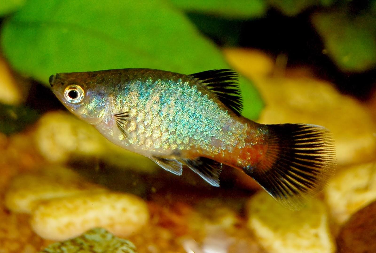 Platies fish : Platy Fish - Photo source link