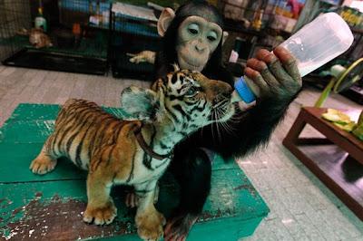 Chimpancé y cachorros de tigre