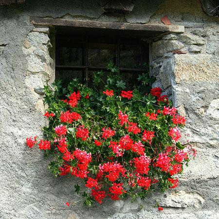 I fiori parlano il geranio for Geranio parigino