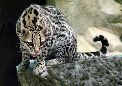 Ocelot   Animal Facts  amp  InformationOcelots Eating