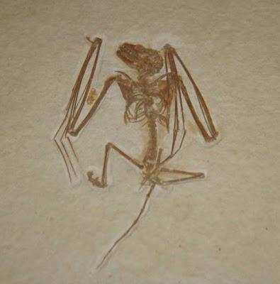 restos fosiles de Icaronycteris