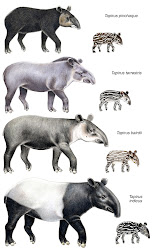 Tapir Poster - Artwork by Stephen Nash of CI