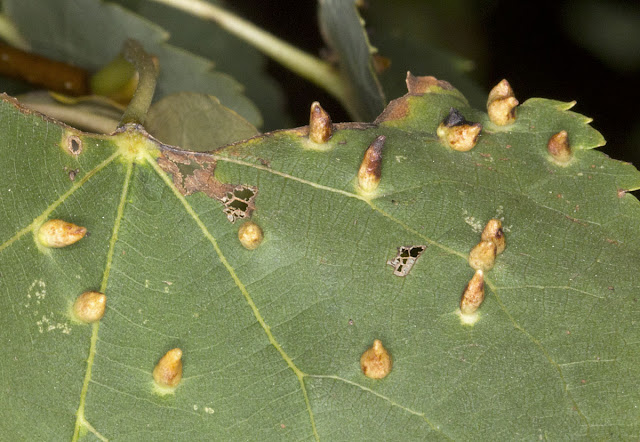 Nail galls on Small-Leaved Lime, Tilia cordata, caused by the gall mite Eriophyes lateannulatus.  Farningham Wood, 2 October 2011.