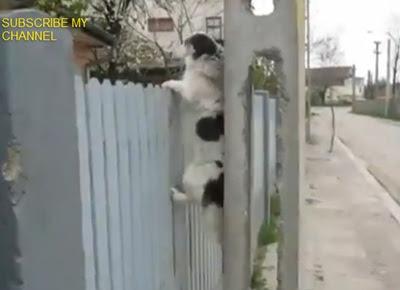 蜘蛛犬 狗狗(蜘蛛犬 狗狗爬柵欄)