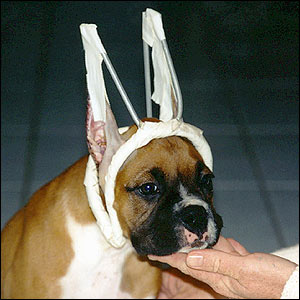 Boxer with Cropped Ears