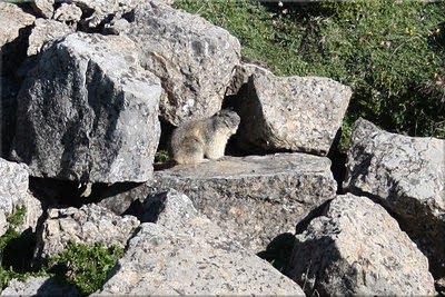 Marmota tomando el sol
