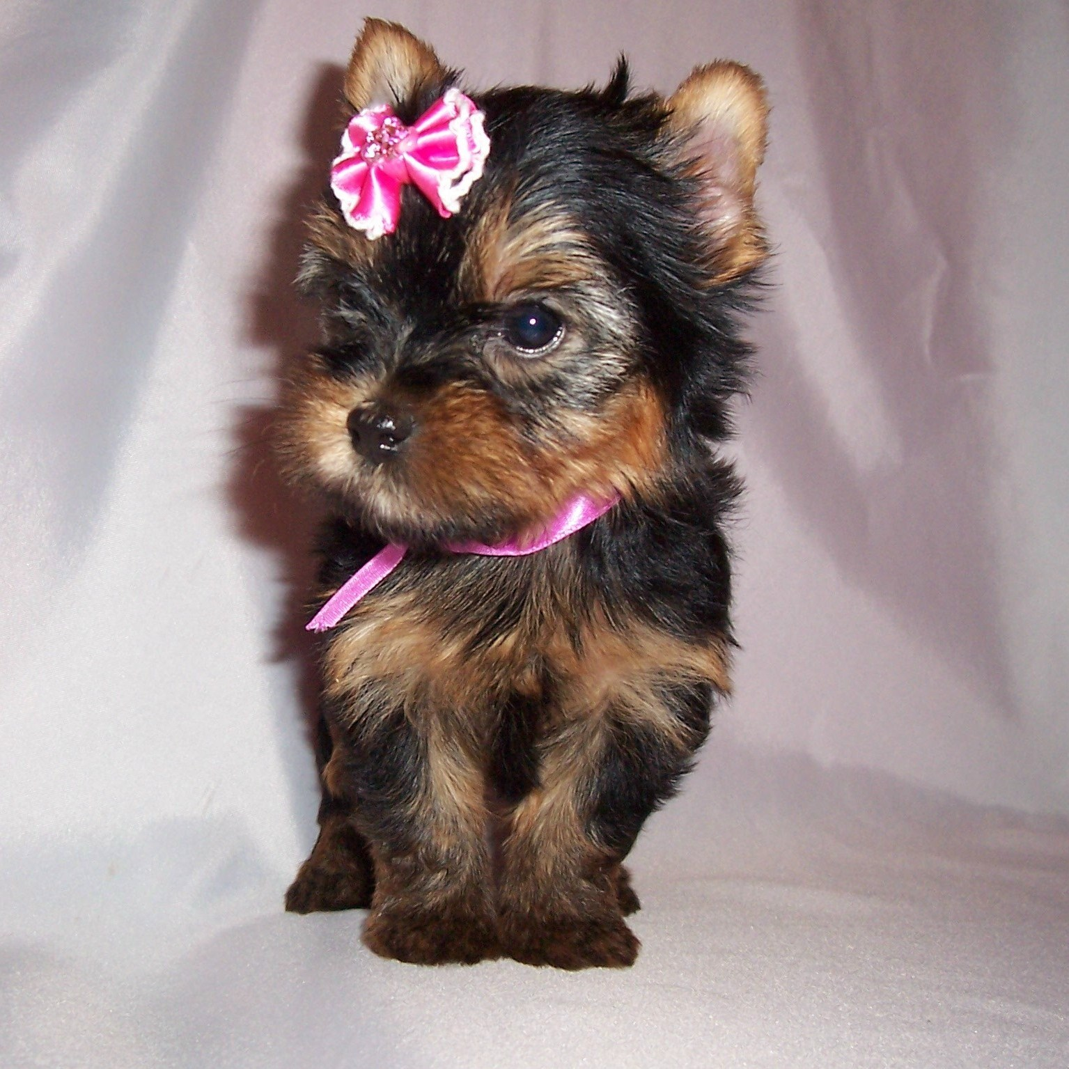 Rottweiler Mix German Shepherd Puppies Cute Puppy Dogs: Yorks...