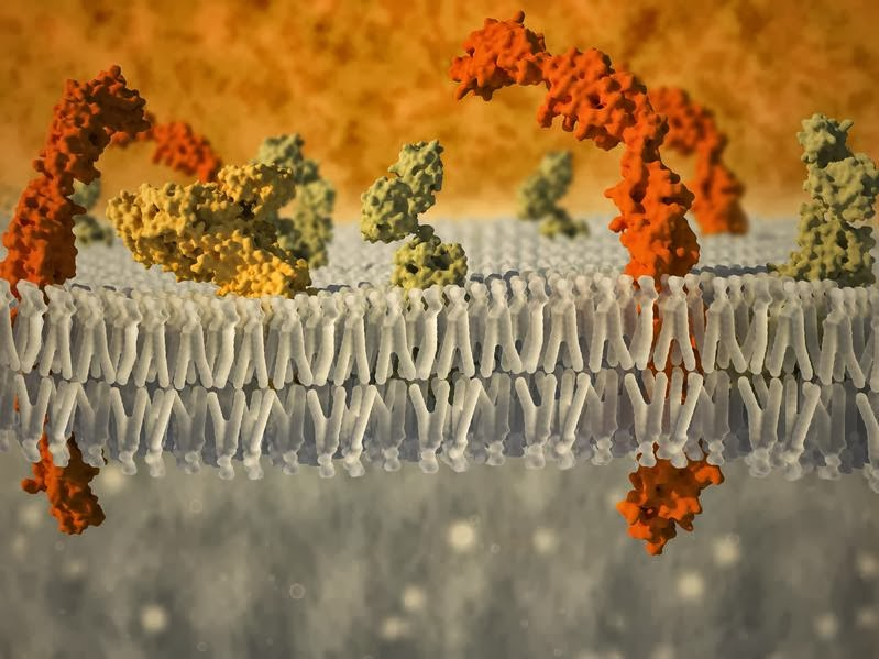 diffusion across biological membranes a simulation Cell diffusion and osmosis : diffusion  the basic process of diffusion across a plasma membrane  set up between solutions separated by biological membranes in.