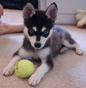 buy miniature pinscher or miniature husky 1 miniature pinscher 2