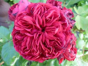 Rose de 4 vent, Rose der 4 Winde