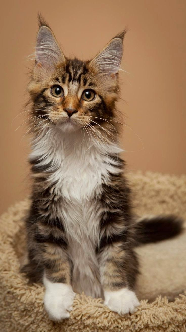 Five Interesting Facts About Maine Coon Cats