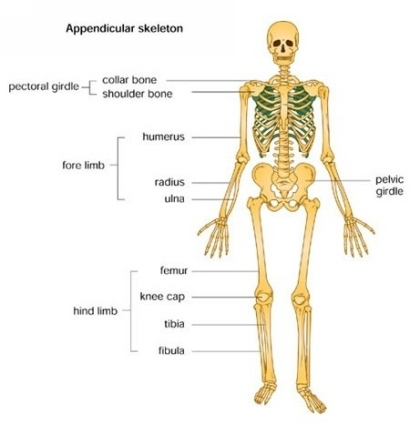 the role of our skeletal system