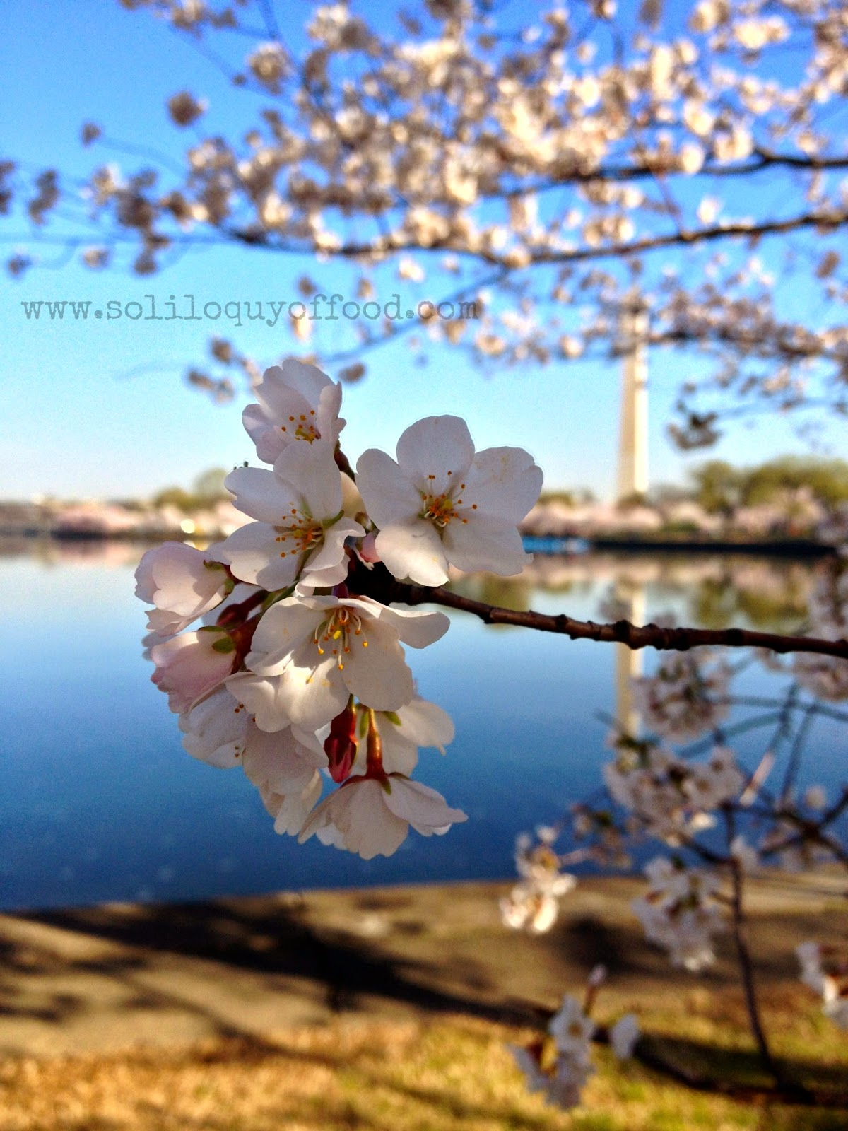 The Tidal Basin - Cherry Blossoms 2014, Washington, DC - www.soliloquyoffood.com