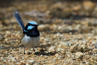 A photograph of a male Superb Fairy-Wren taken in Sandy Hollow, Australia