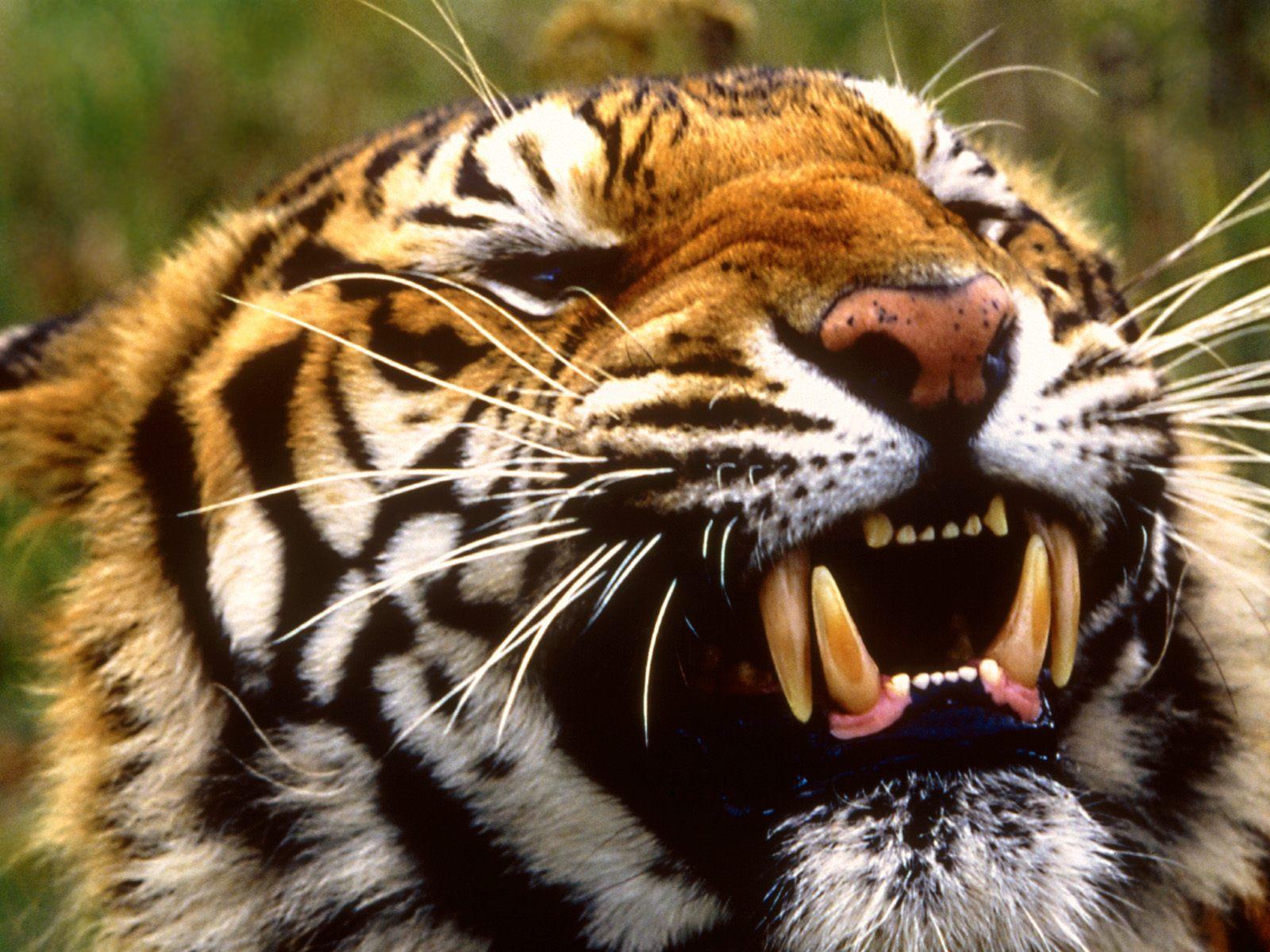 tiger wallpapers hd bengal tiger Desktop wallpaper Tiger wallpapers hd