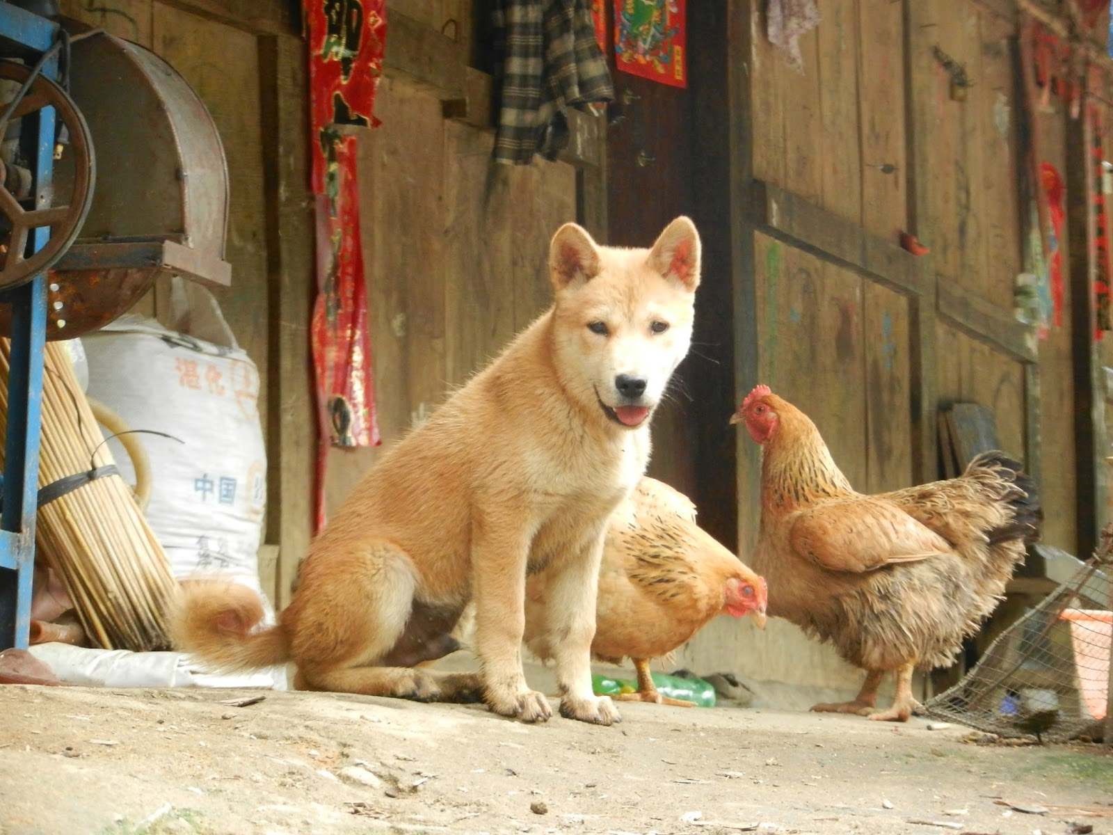 Chubao+Village+wolf+dog+Hainan+China.JPG