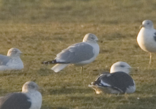 RING BILLED GULL-SANDBACH FLASHES-22ND FEBRUARY 2009