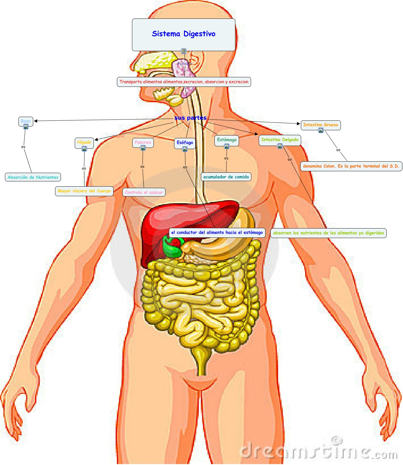 Vistoso Diagrama Del Sistema Digestivo Etiquetado Motivo - Anatomía ...