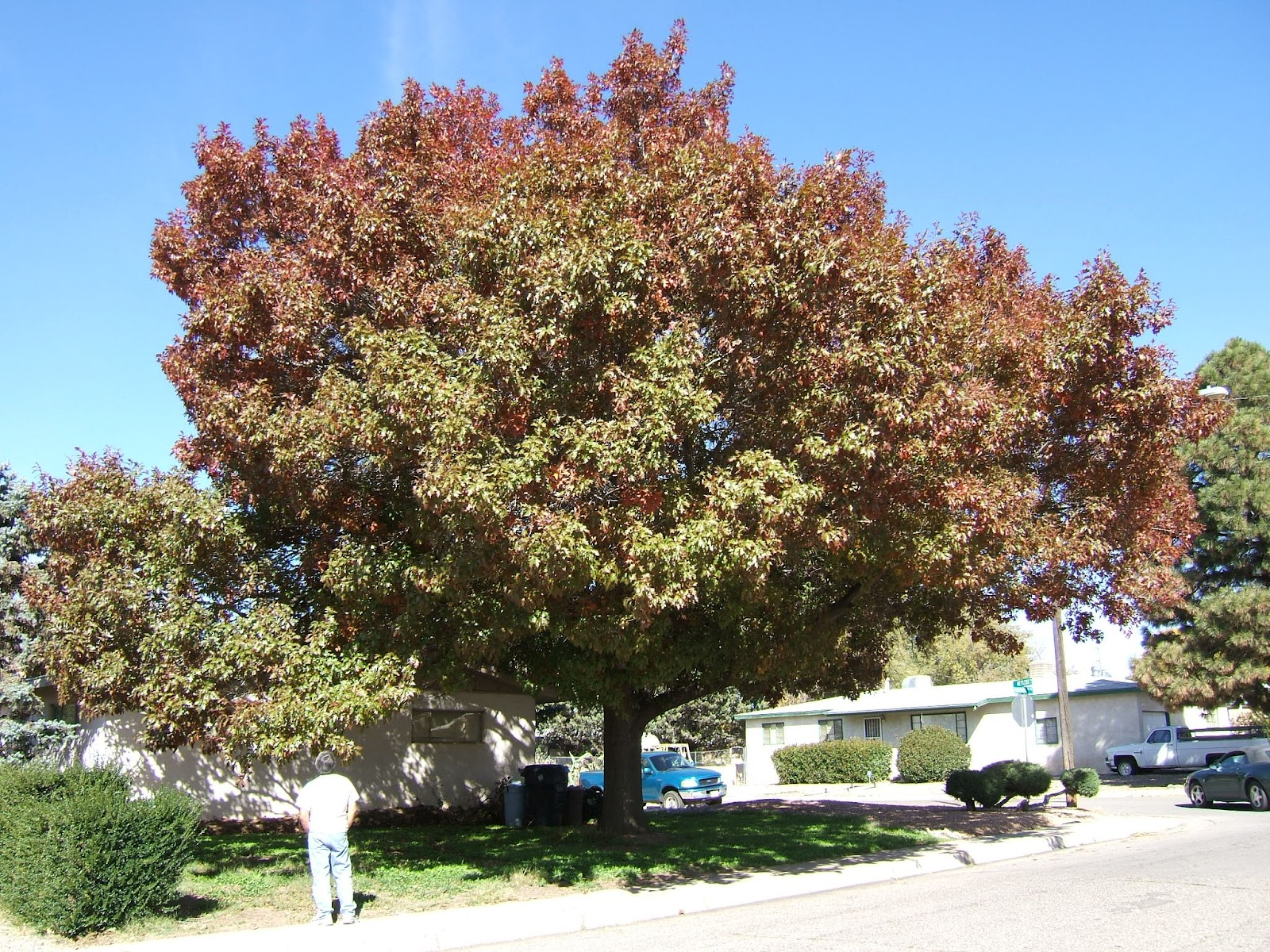 Canopy 35u0027 u2013 40u0027 tall 20u0027 u2013 25u0027 wide makes acorns Chisos Red Oak slightly smaller. Tap root. Fall Color- Gorgeous Red- Maroon & Trees That Please Nursery: Shade Trees for Small Spaces