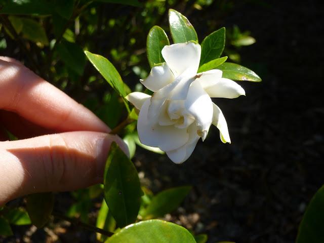 "Gardenia jasminoides ""Jubilation"""