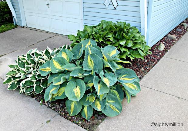 diy landscaping tips & ideas hosta