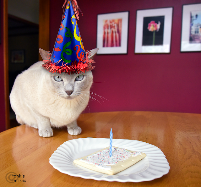 Faraday celebrates his birthday #birthdayFAIL #catbirthday #tonkinesecats