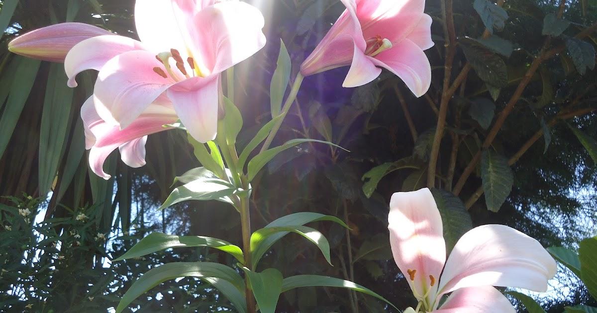 minha Horta Biológica Lírio cor de rosa com perfume!!!