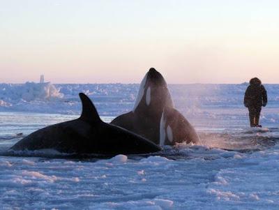 seorang lelaki menyaksikan dua ekor ikan paus pembunuh di sebuah lubang yang dikelilingi lapisan ais.
