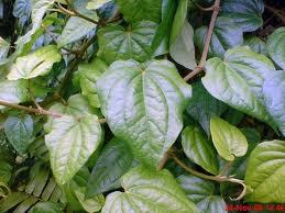 Sejumlah kandungan daun sirih dapat bermanfaat untuk kesehatan tubuh