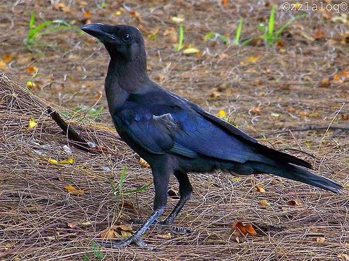 Gambar Cara Merawat Burung Gagak