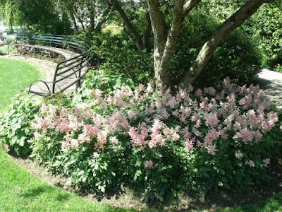 Toronto Music Garden Minuet section with pink astilbe bed under crabapple tree by garden muses: a Toronto gardening  blog