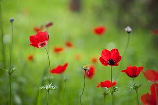 amapolas rojas Fotos de flores silvestres