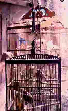 Burung Cucak Rawa, Cara Merawat dan Melatih Burung Cucak Rowo, Tips