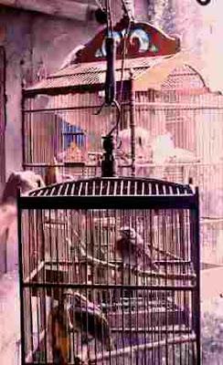 Cara Merawat dan Melatih Burung Cucak Rawa, Cara Merawat dan Melatih Burung Cucak Rowo, Tips Merawat dan Melatih Burung Cucak Rawa, Tips Merawat dan Melatih Burung Cucak Rowo