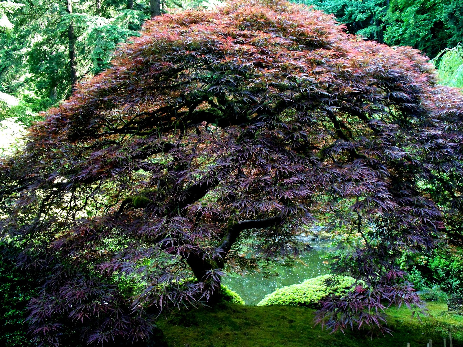 Portland Japanese Garden Maple Tree