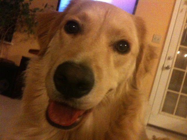 Sammy the Golden Retiever Dog