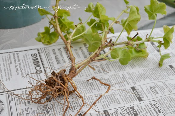 An experiment in overwintering geraniums anderson grant - Overwintering geraniums tips ...