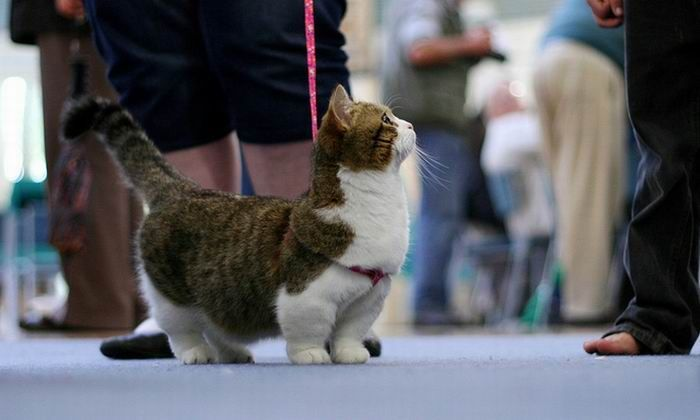 munchkin cat pictures Photo