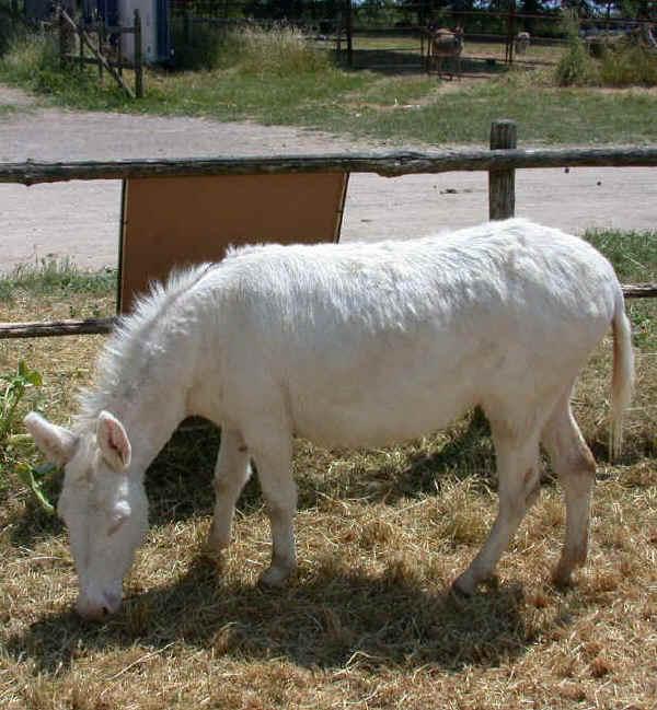 Albino, italiano