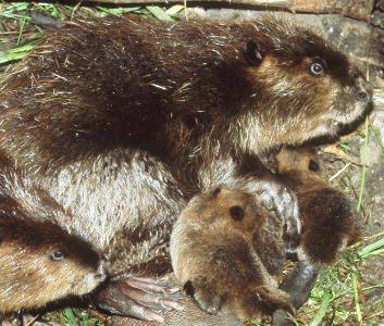 Castor hembra con sus crias