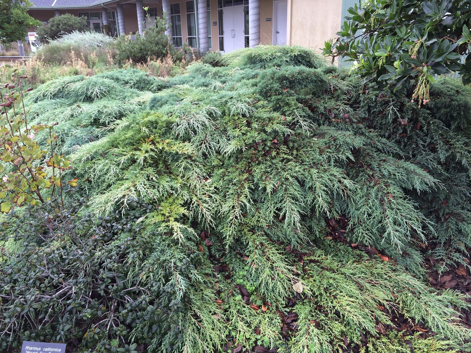 Trees of santa cruz county january 2015 picea abies pendula is a great weeping conifer several cultivariants here some growing ever so slightly up and then mostly on the ground though i reviewsmspy