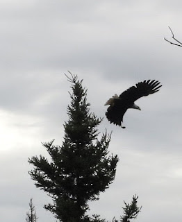Bald eagle in flight off tip opf spruce ely mn
