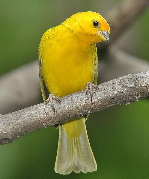 Burung KenariJenis Burung Kenari