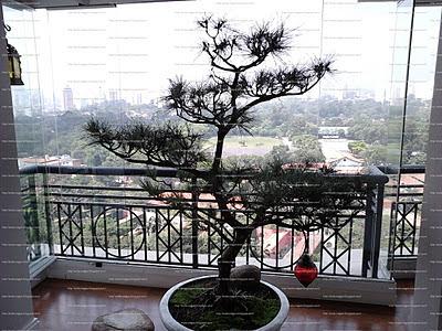 bonsai de pinheiro negro