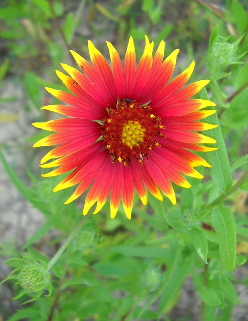 Firewheel or Indian Blanket at White Rock Lake, Dallas, TX