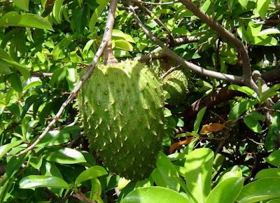 fakta tentang buah sirsak