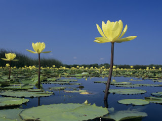 Wild Yellow Water Lily Flower