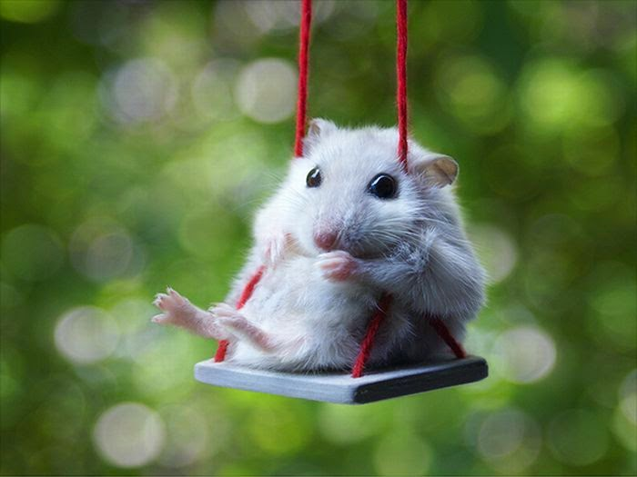 Funny animals of the week - 21 March 2014 (40 pics), funny animal pictures, hamster sits on tiny swing