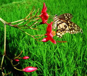 butterfly, red flower and rice crops