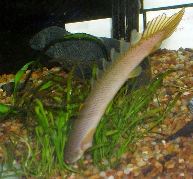 juvenile Polypterus senegalus (bichir)